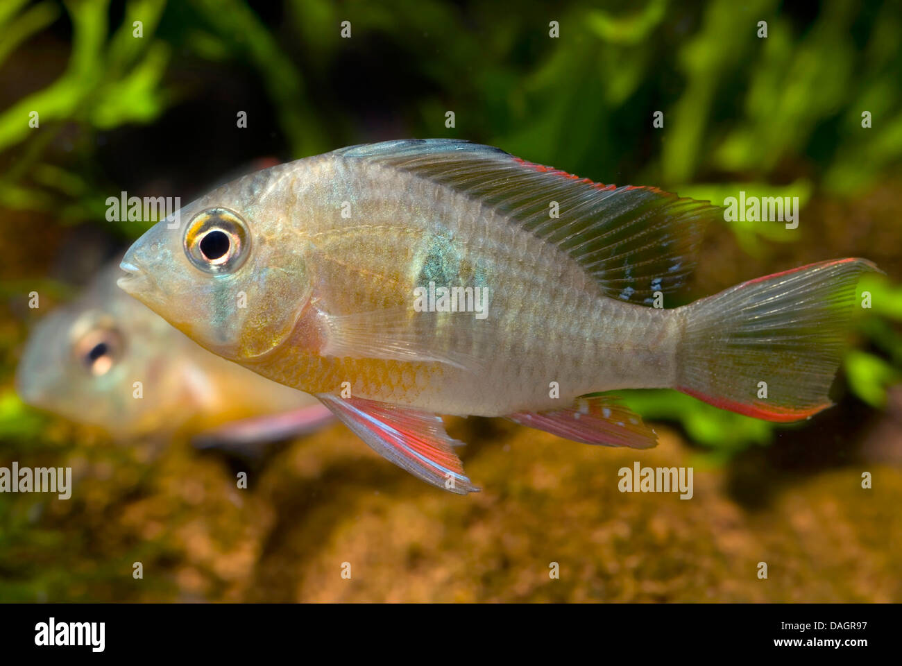 Bolivian butterfly dwarf Cichlid (Mikrogeophagus altispinosus), swimming - Stock Image