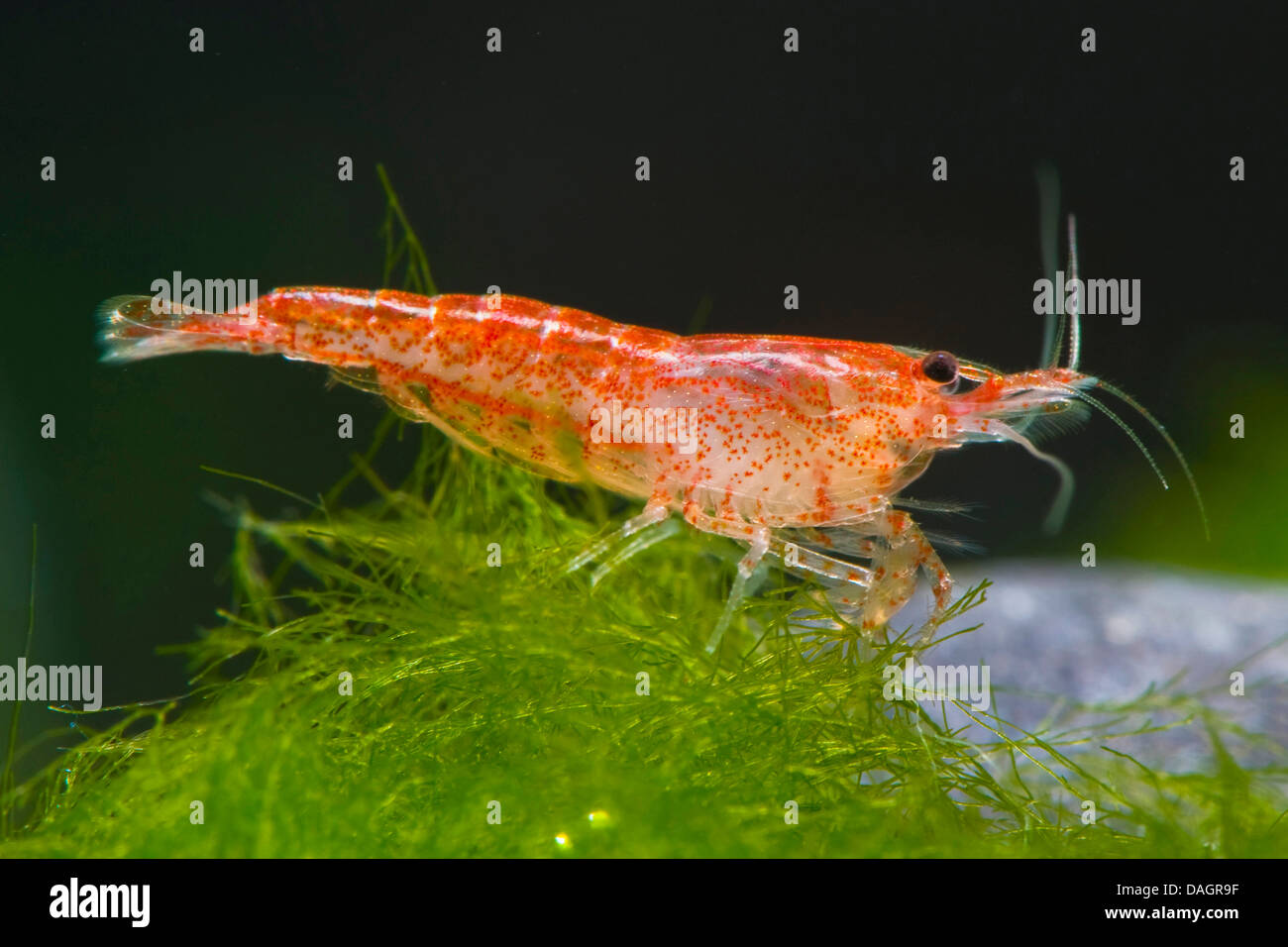 a6958b75a7 shrimp (Neocaridina Red Cherry), breed Red Cherry Stock Photo ...
