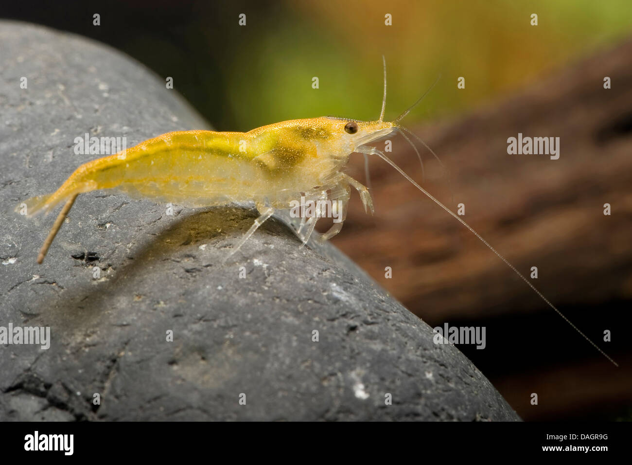 rock shrimp (Neocaridina heteropoda Sakura Orange ), breed Sakura Orange - Stock Image
