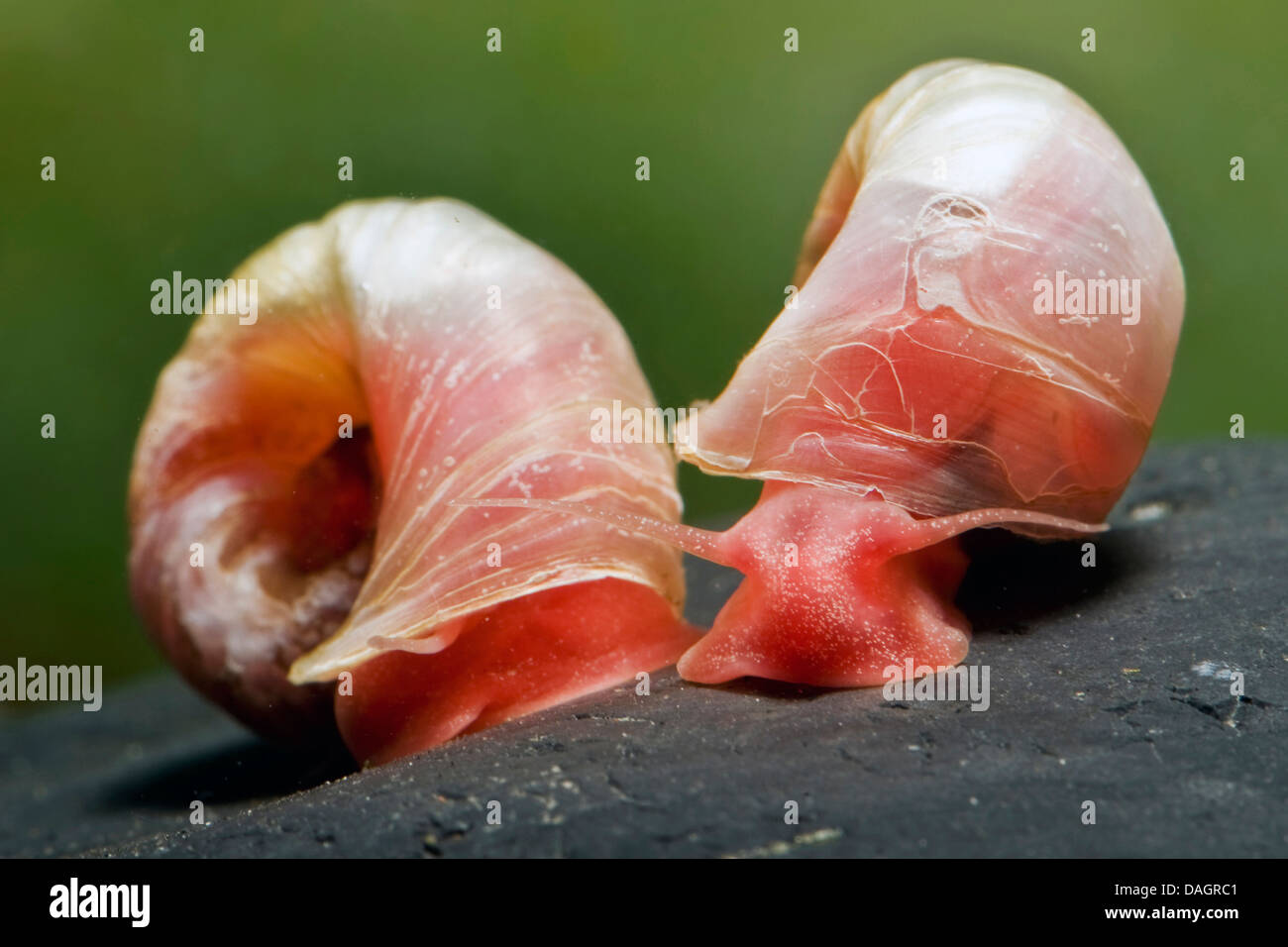 American ram's horn snail (Planorbella duryi Red), breed red - Stock Image