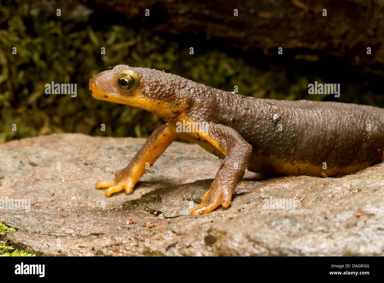 California newt (Taricha torosa), portrait Stock Photo
