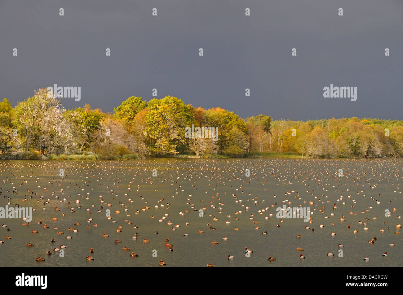 screamers and waterfowl (ducks/geese/swans) (Anseriformes), resting common pochards, red-crested pochards and tufted - Stock Image