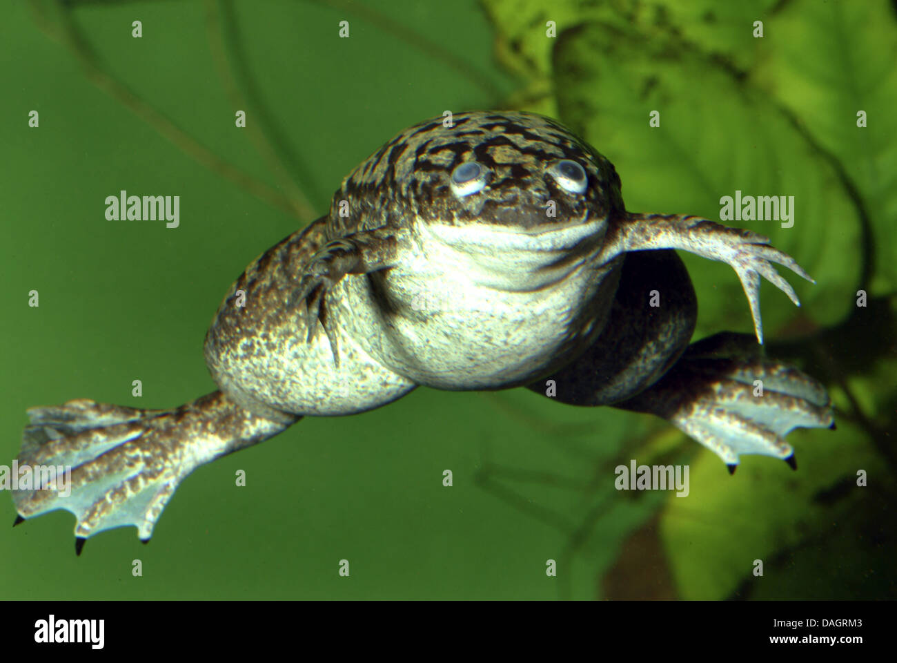 african clawed frog xenopus laevis swimming stock photo 58147491 rh alamy com Female African Clawed Frog African Clawed Frog Tadpoles