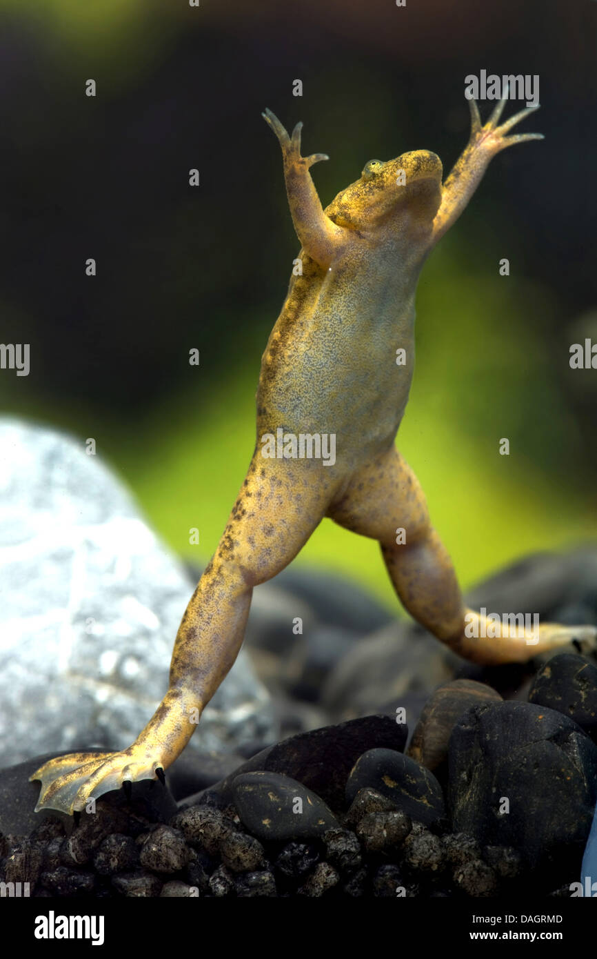 Western clawed frog (Xenopus tropicalis), swimming - Stock Image