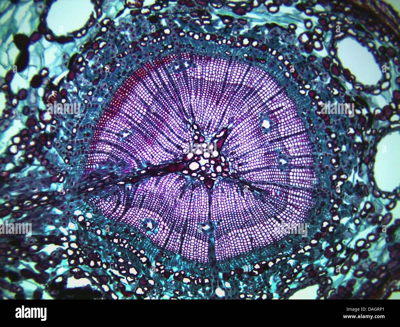 pine (Pinus spec.), vascular tissue of mature pine wood Stock Photo