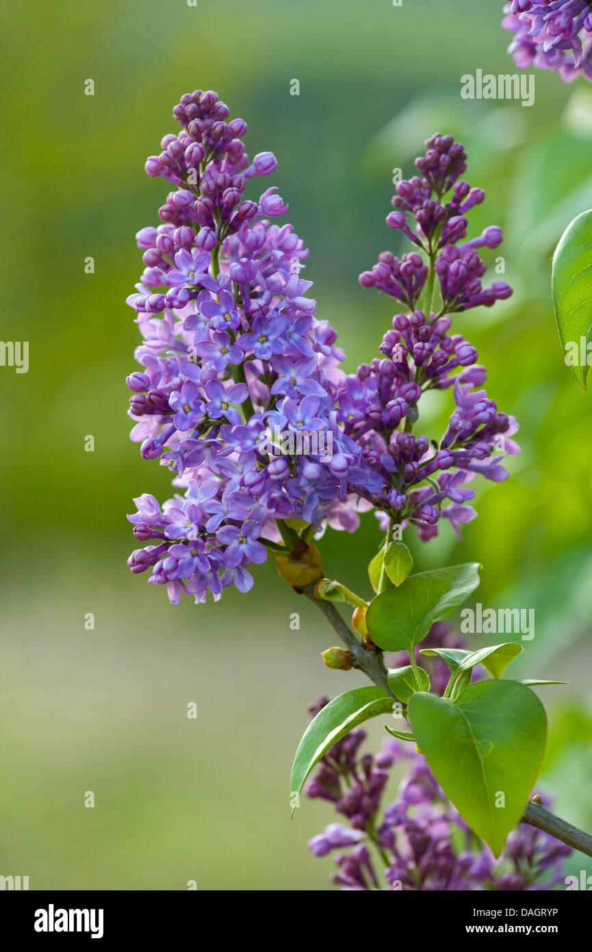 common lilac (Syringa vulgaris), twig with lilac blossoms, Germany - Stock Image