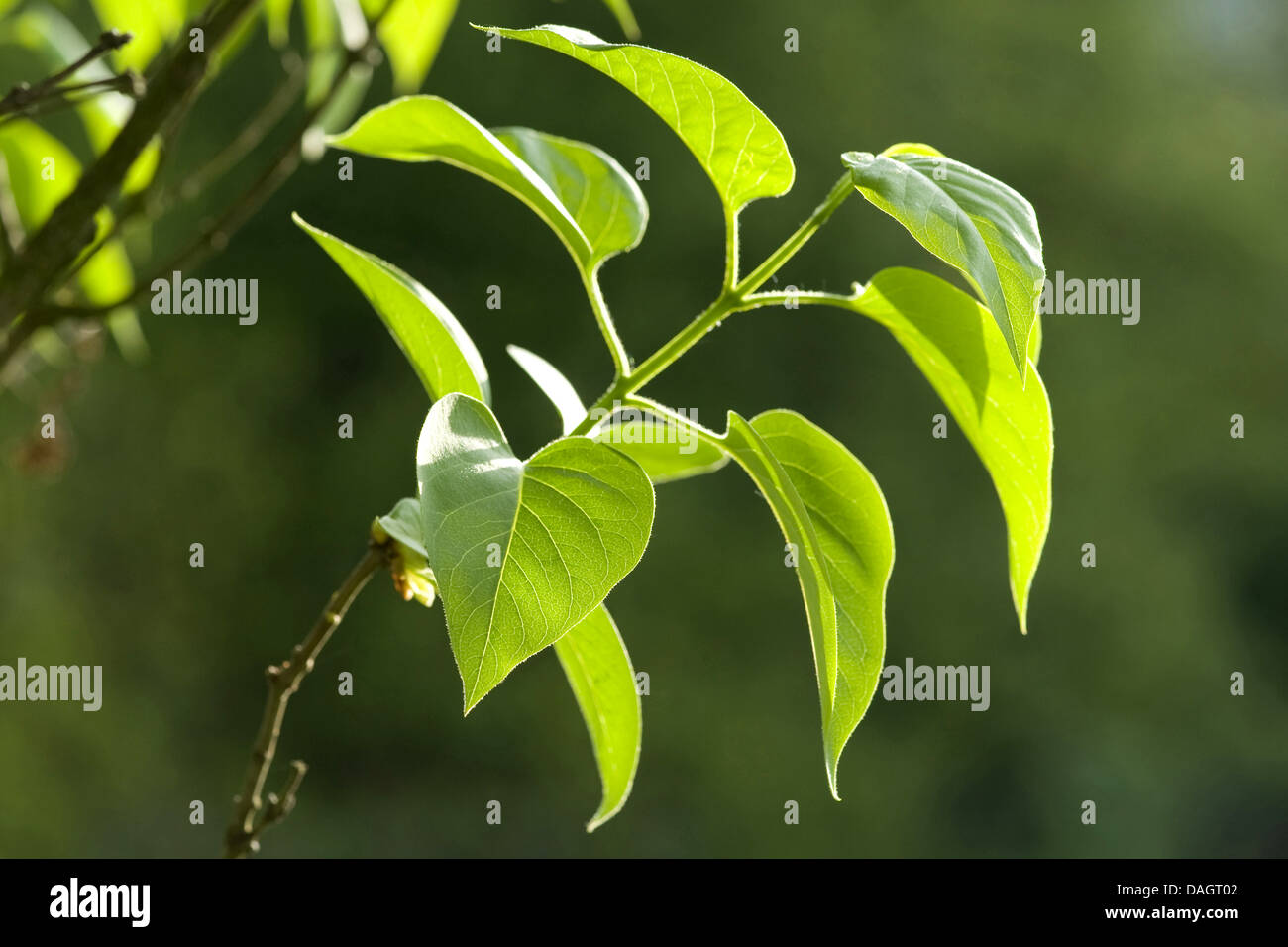 common lilac (Syringa vulgaris), twig with leaves, Germany - Stock Image