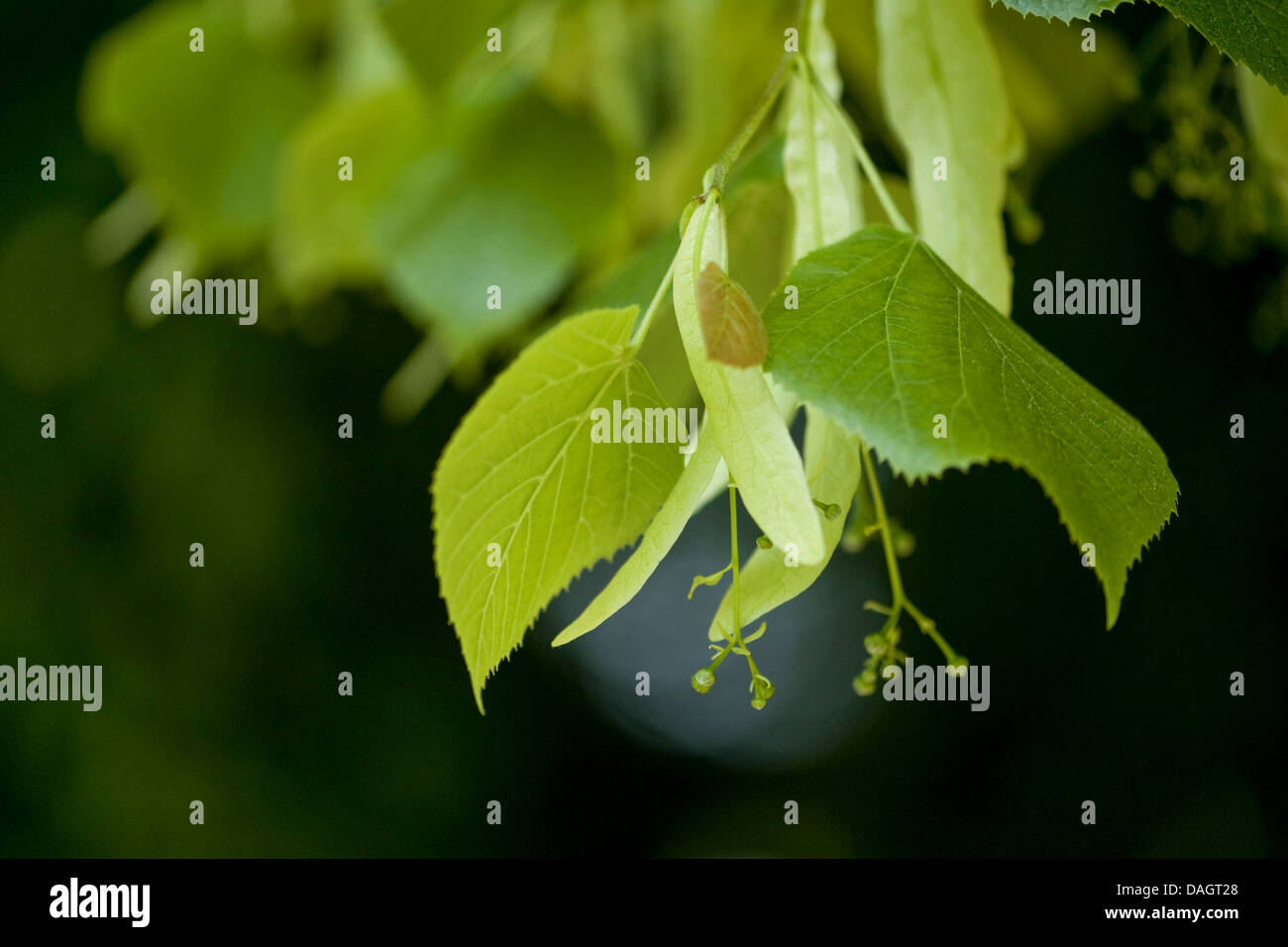 large-leaved lime, lime tree (Tilia platyphyllos), twig with young fruits, Germany Stock Photo