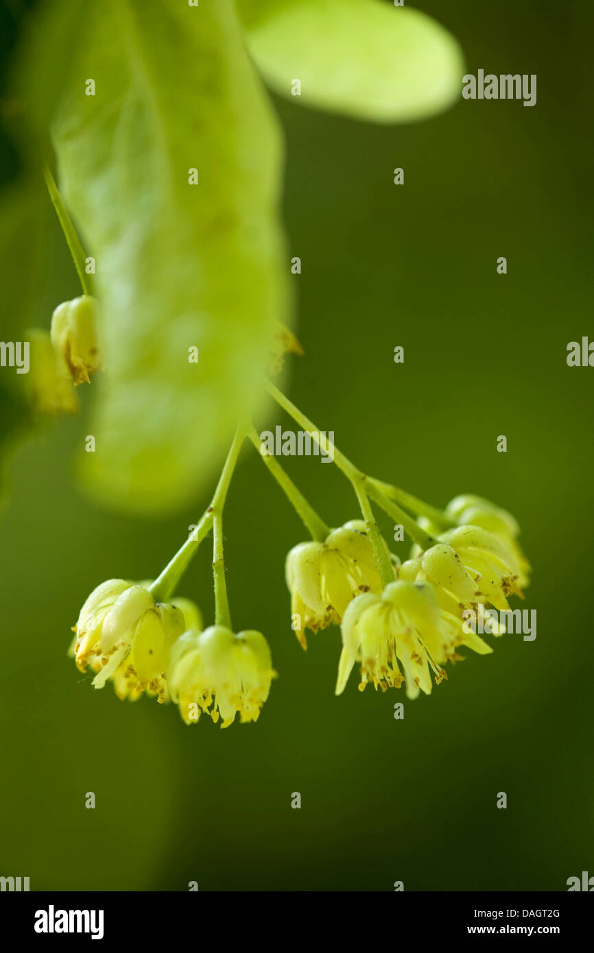 large-leaved lime, lime tree (Tilia platyphyllos), blossoms, Germany Stock Photo