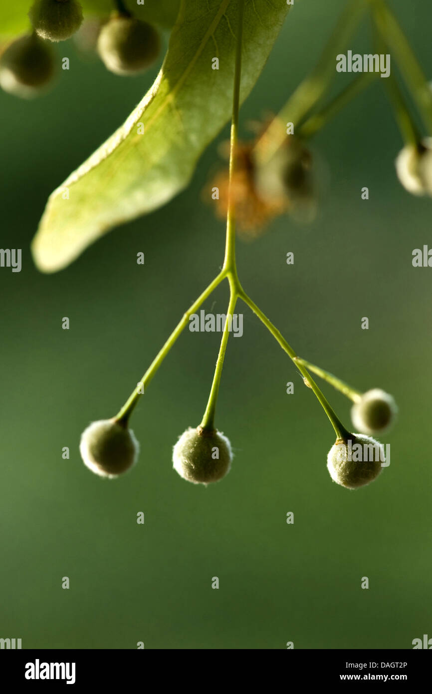 large-leaved lime, lime tree (Tilia platyphyllos), twig with fruits, Germany Stock Photo