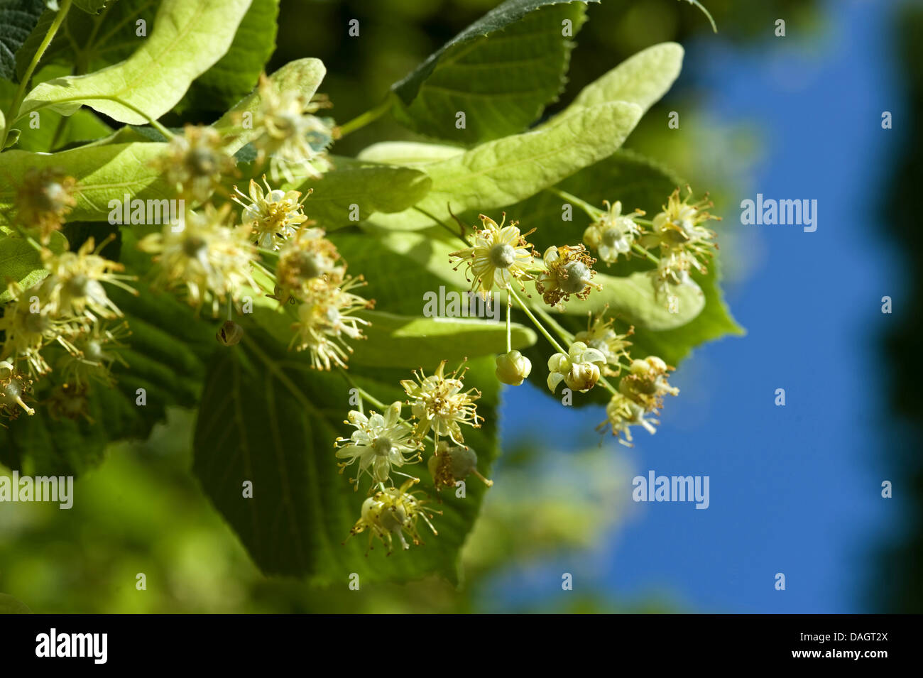 large-leaved lime, lime tree (Tilia platyphyllos), blooming twig, Germany - Stock Image