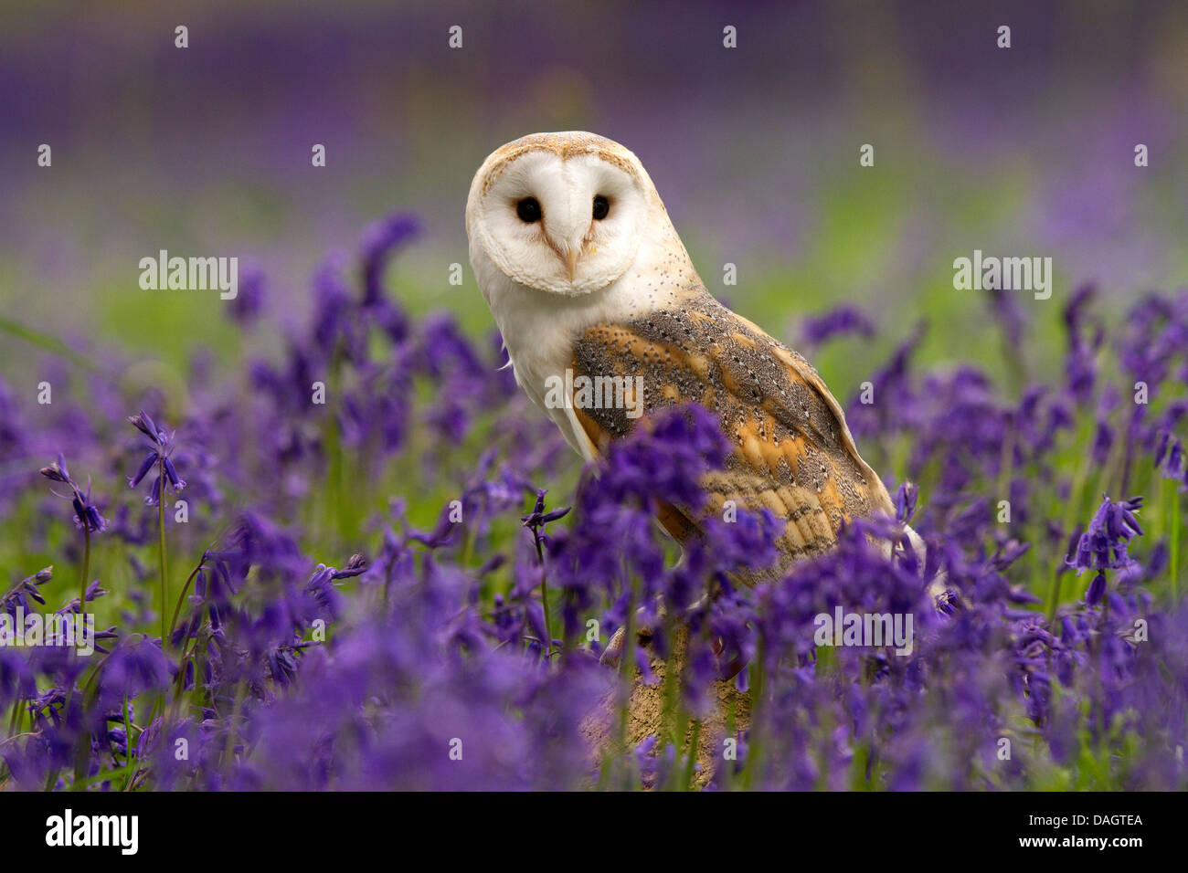 Barn Owl, Tyto alba sitting in bluebells - Stock Image