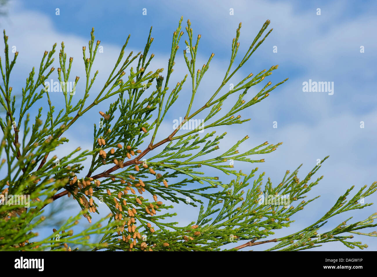 incense cedar, Californian white cedar (Calocedrus decurrens), branch with male flowers - Stock Image