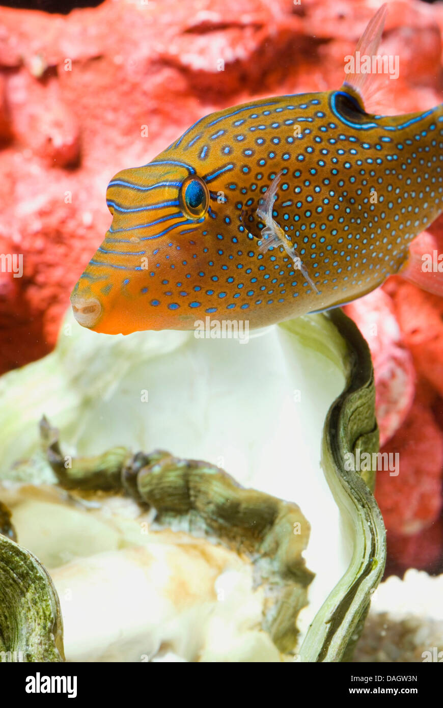 Papuan toby (Canthigaster papua), swimming above shell Stock Photo