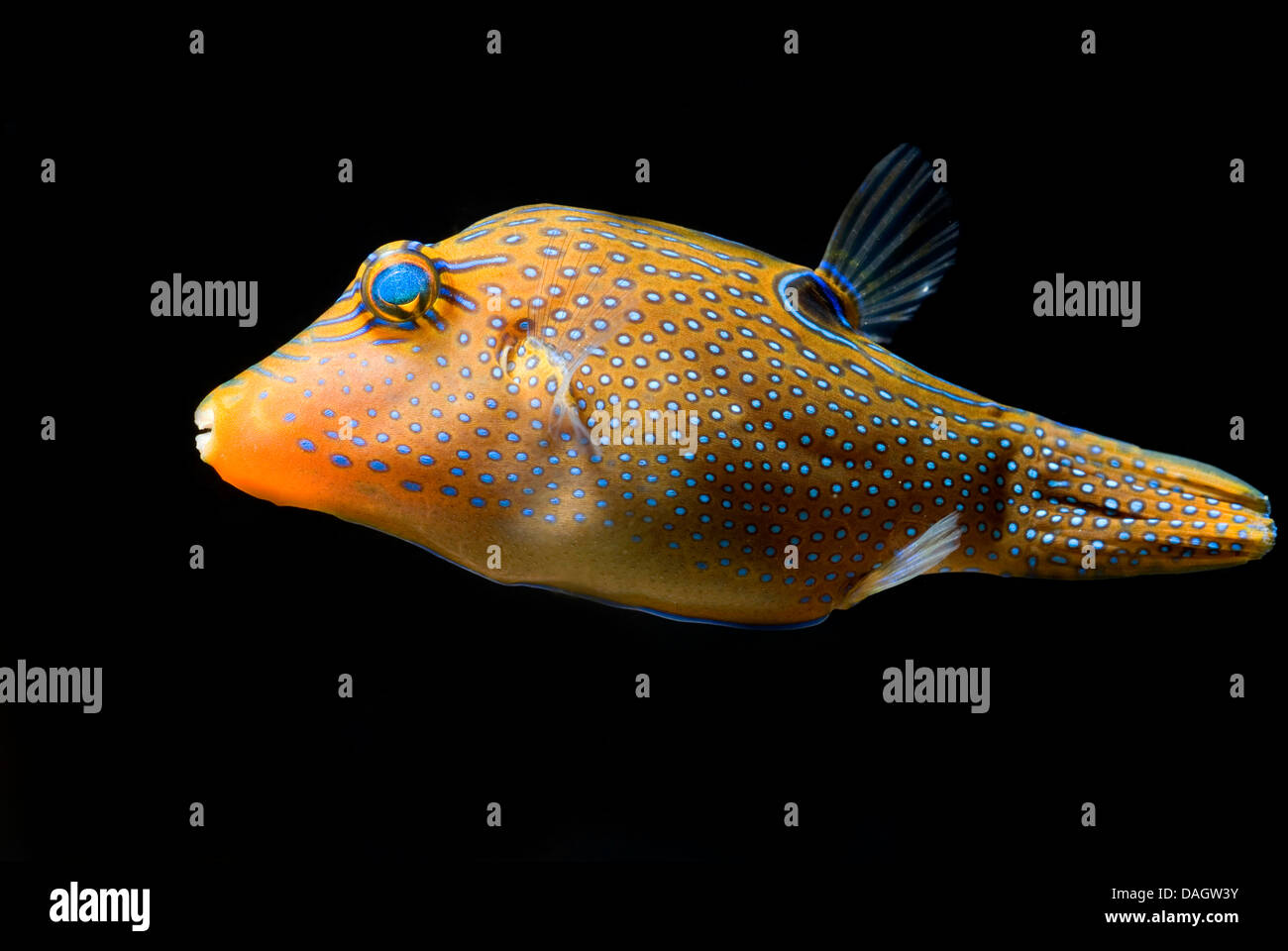 Papuan toby (Canthigaster papua), swimming Stock Photo