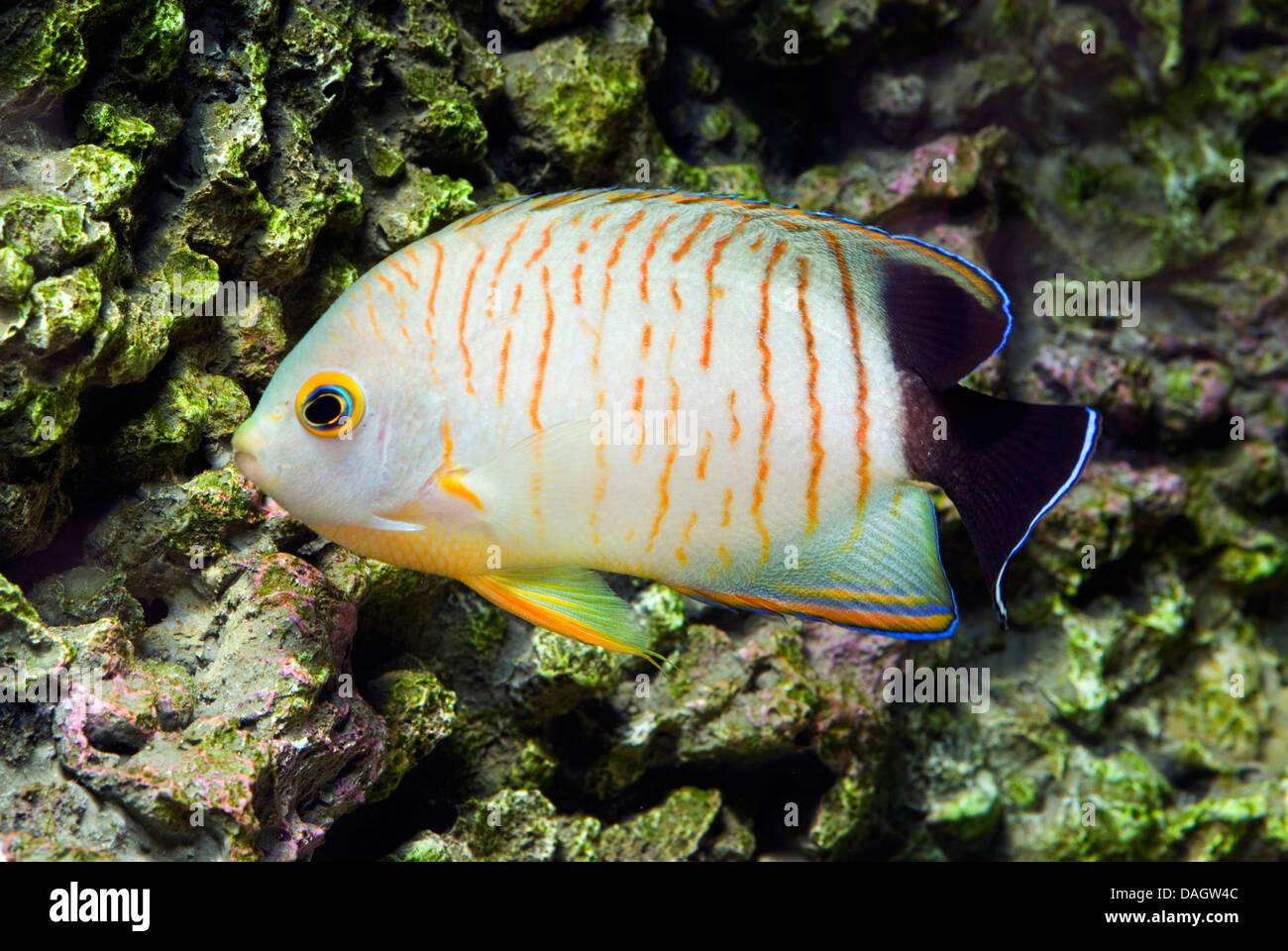 Blacktail angelfish (Centropyge eibli), swimming - Stock Image