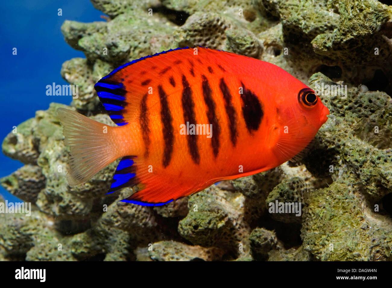 flame angelfish, flame angel fish, flame angel (Centropyge loricula), swimming - Stock Image