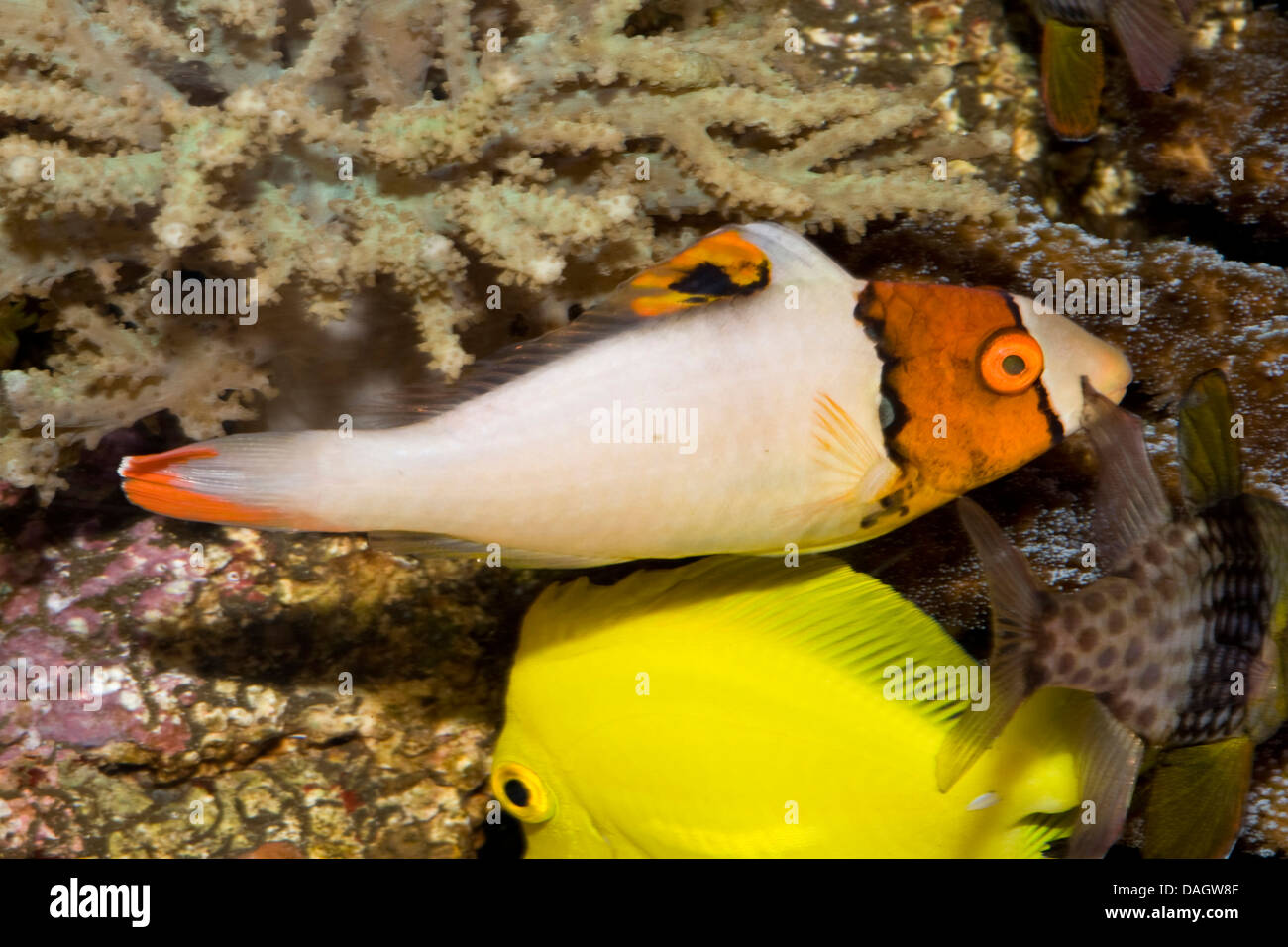 Bicolor Parrotfish (Cetoscarus bicolor), together with two other coral fishes Stock Photo