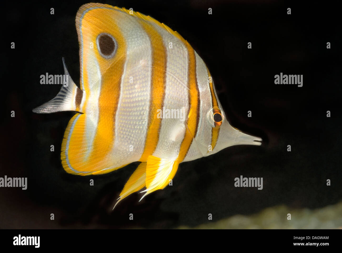 copper-banded butterflyfish, copperband butterflyfish, long-nosed butterflyfish, beaked coralfish (Chelmon rostratus), - Stock Image