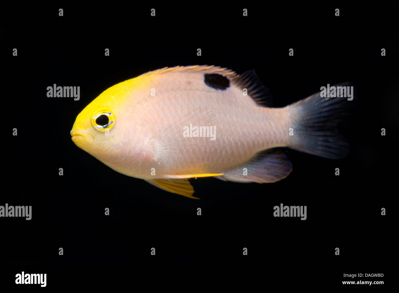Talbot's Damsel (Chrysiptera talboti), swimming Stock Photo