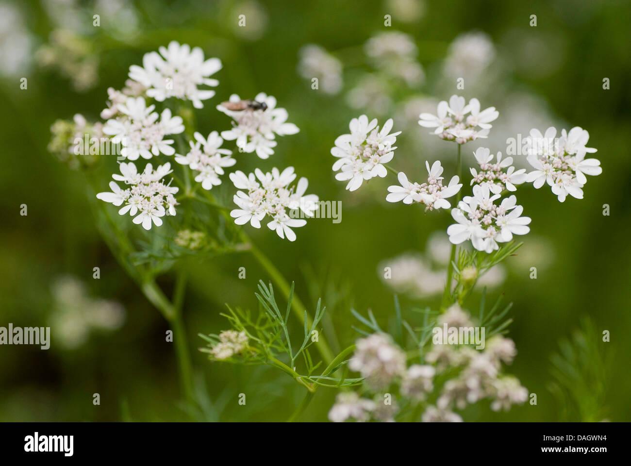 coriander (Coriandrum sativum), inflorescences Stock Photo