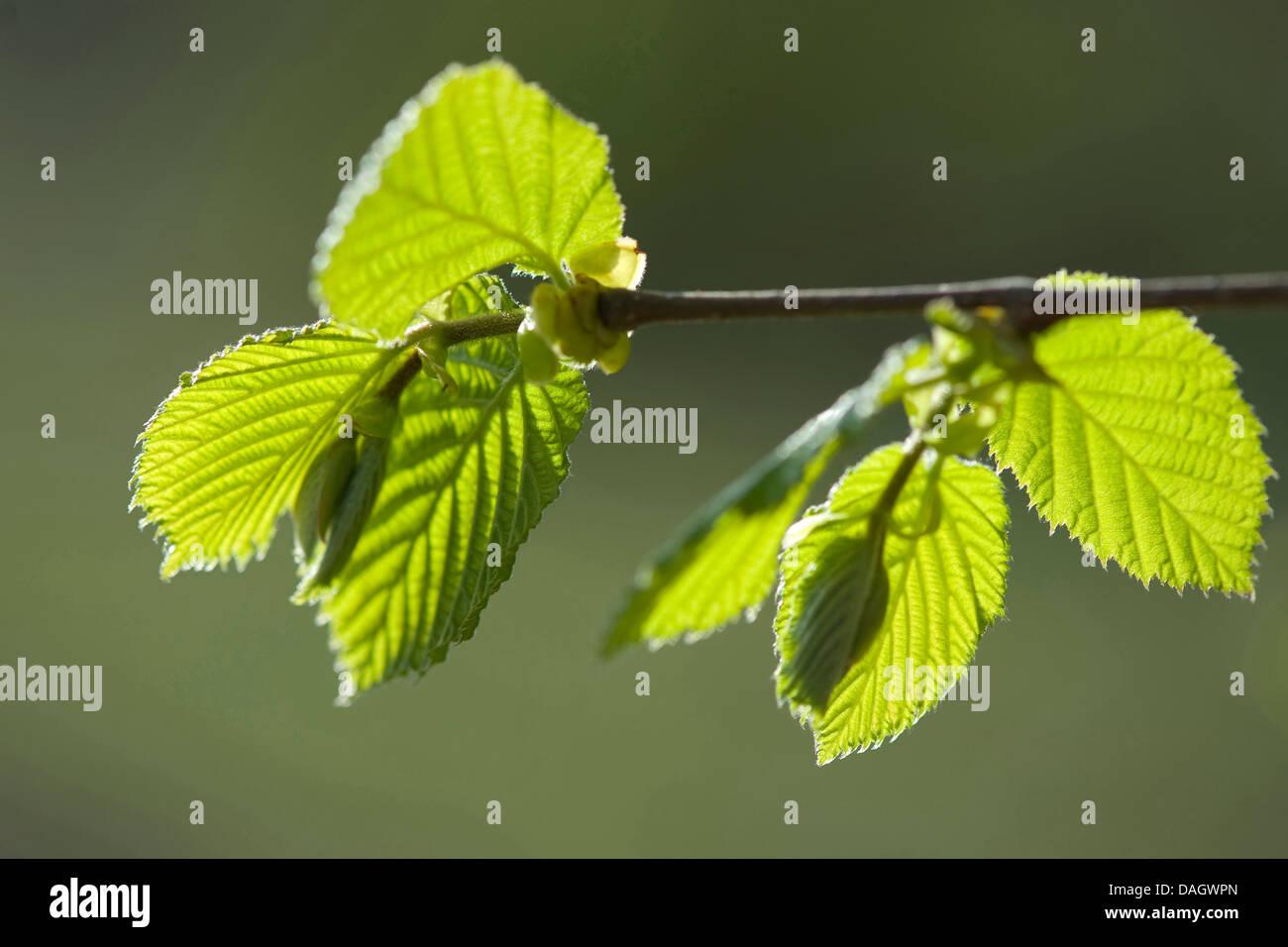 Common hazel (Corylus avellana), twig with hazelnut leaves, Germany - Stock Image