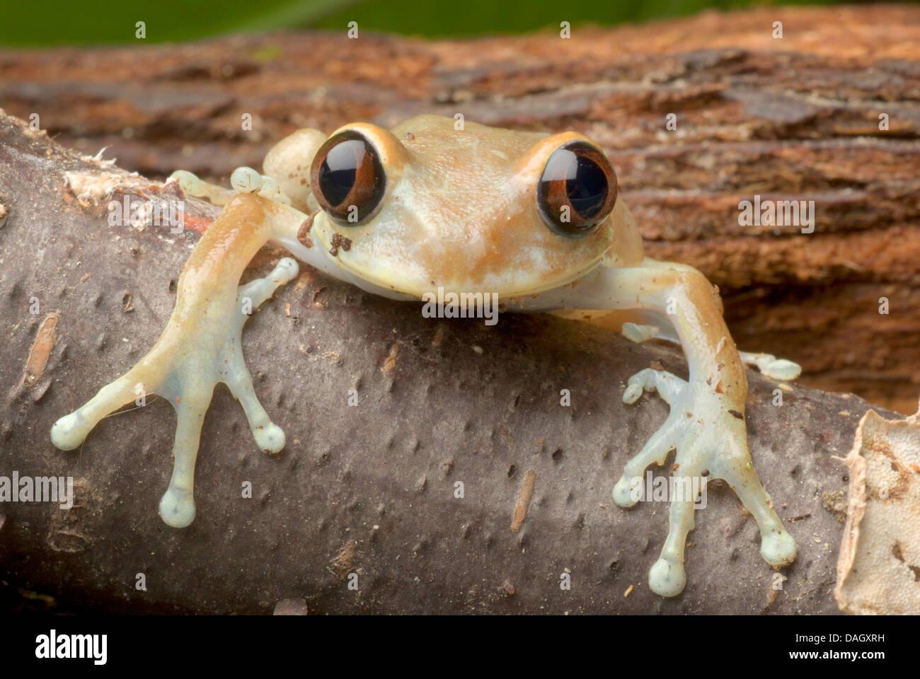 Ruby Eyed Treefrog (Leptopelis uluguruensis), view into camera - Stock Image