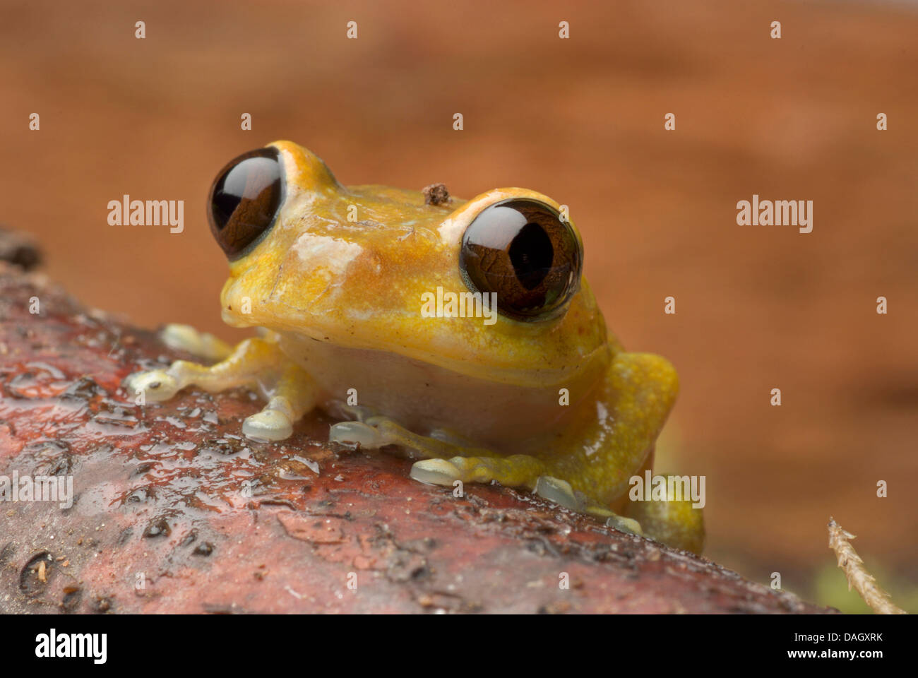 Ruby Eyed Treefrog (Leptopelis uluguruensis), portrait - Stock Image