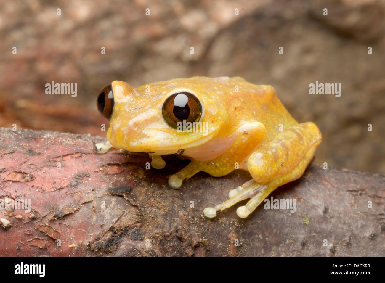 Ruby Eyed Treefrog (Leptopelis uluguruensis), on a branch - Stock Image
