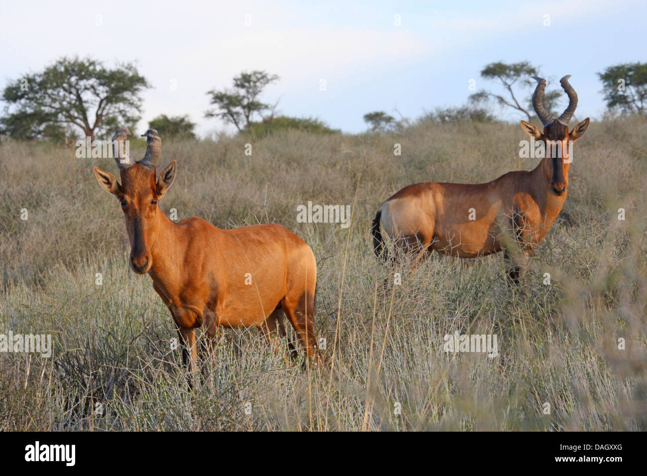 red hartebeest (Alcelaphus buselaphus), two animals in the savannah, South Africa, Kgalagadi Transfrontier National Stock Photo