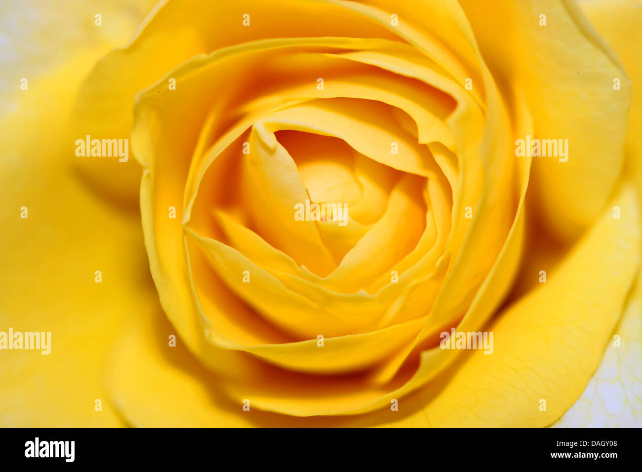 This is a closeup shot of yellow rose, like nice flower background. - Stock Image