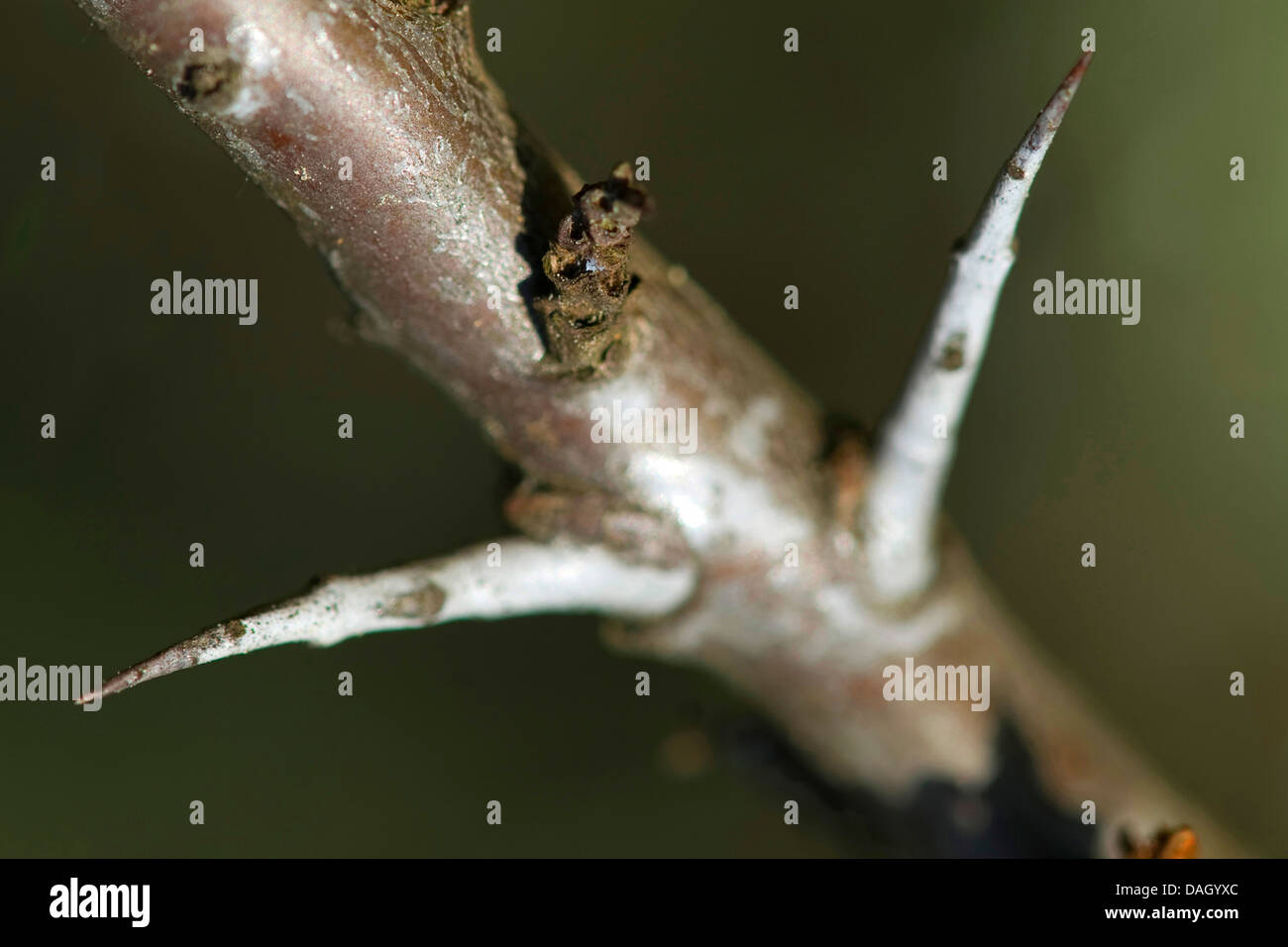common seabuckthorn (Hippophae rhamnoides), twig with thorns, Germany - Stock Image