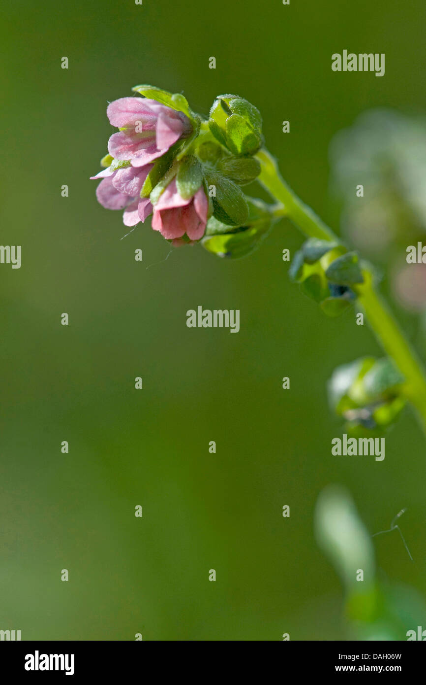 green hound's-tongue (Cynoglossum germanicum), inflorescence, Germany - Stock Image