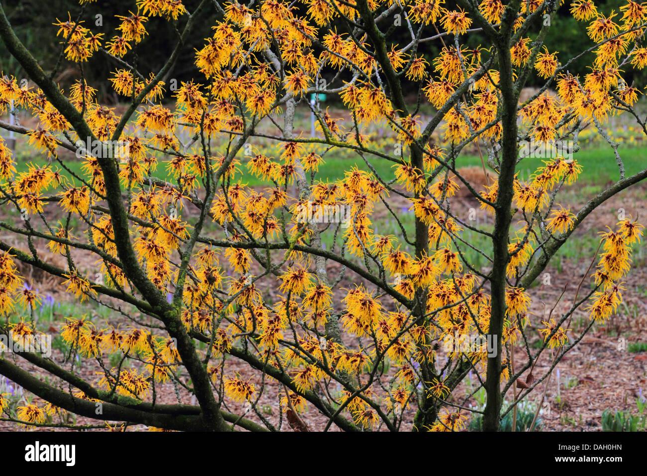 Japanese Witch Hazel Hamamelis Japonica Blooming Stock Photo