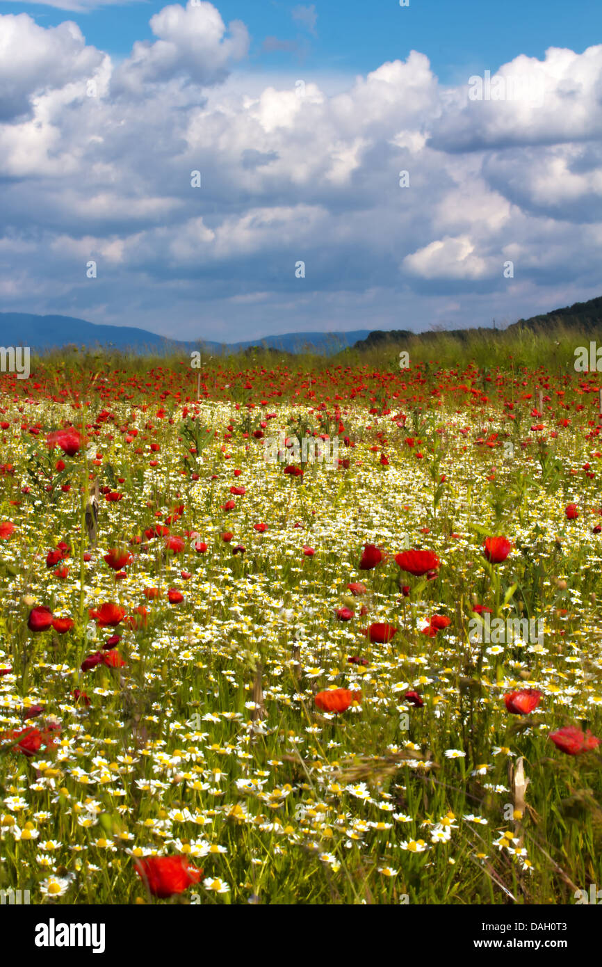 Poppy and daisy field with storm clouds in background. - Stock Image