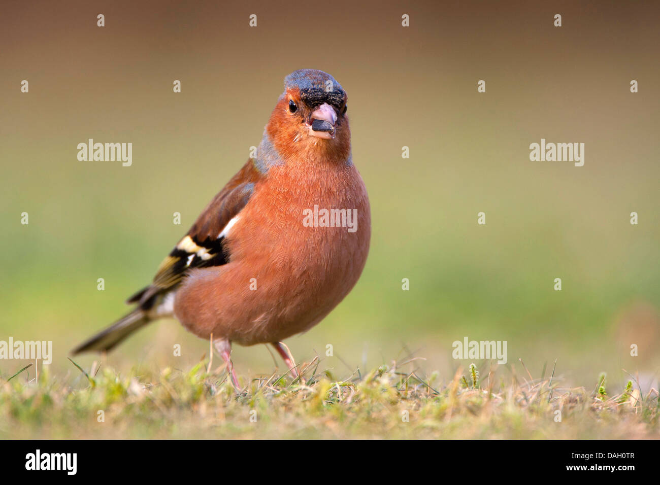 chaffinch (Fringilla coelebs), on the ground with kernel in the beak, Belgium - Stock Image