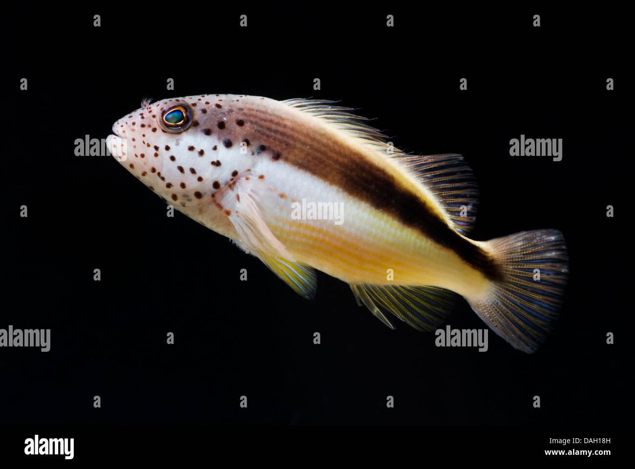 freckled hawkfish, Forster's hawkfish, blackside hawkfish (Paracirrhites forsteri), swimming - Stock Image
