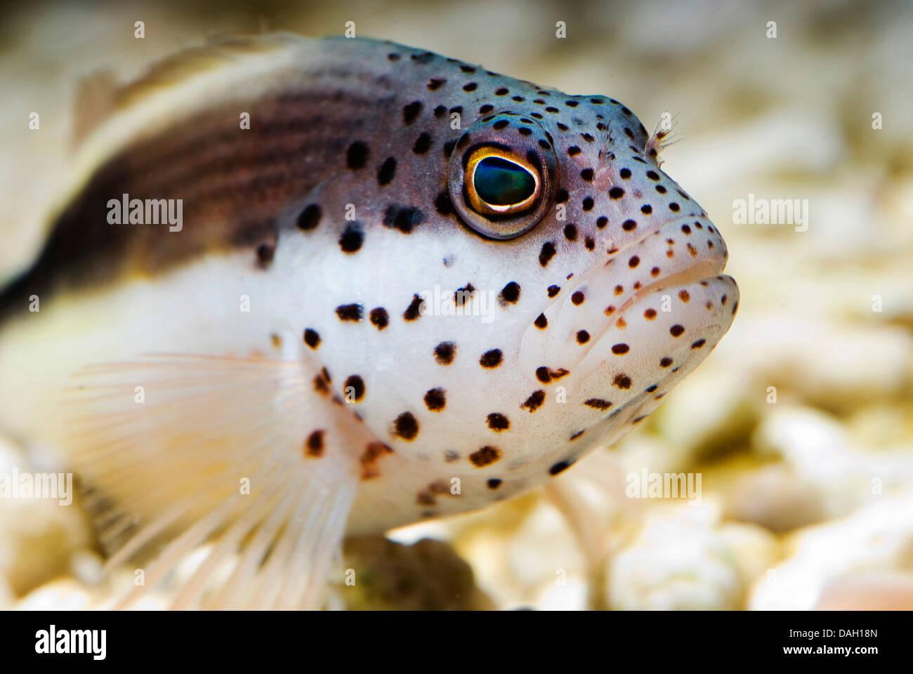 freckled hawkfish, Forster's hawkfish, blackside hawkfish (Paracirrhites forsteri), portrait - Stock Image