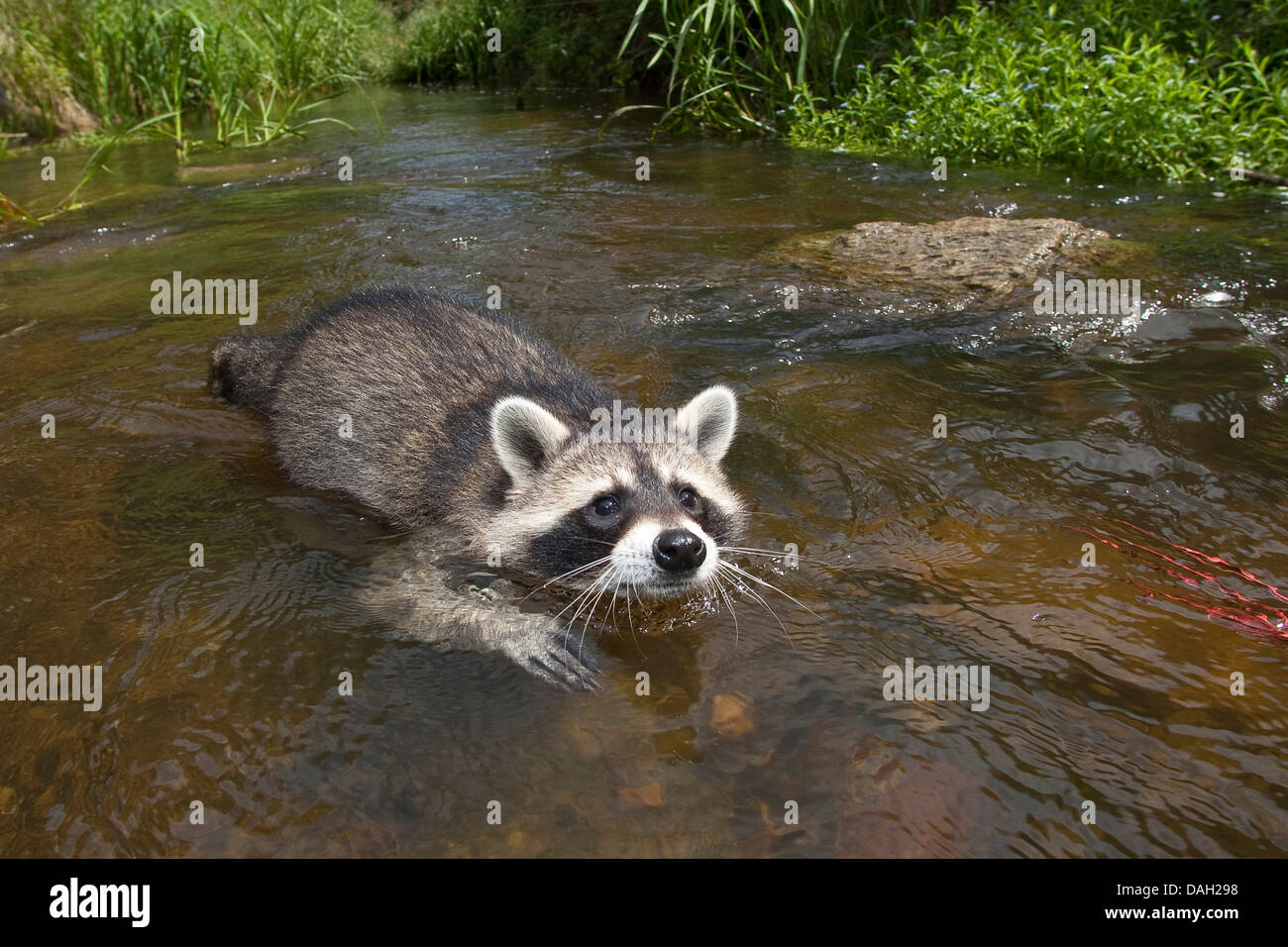 common raccoon (Procyon lotor), 4 months old male swimming in the creek, Germany - Stock Image