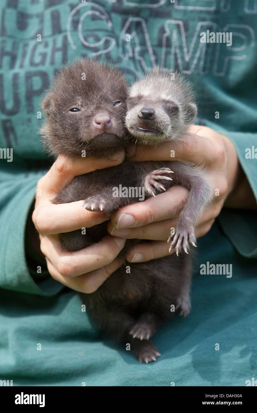 common raccoon (Procyon lotor), orphelin whelp being raised in human charge together with a raccoon dog whelp (Nyctereutes - Stock Image