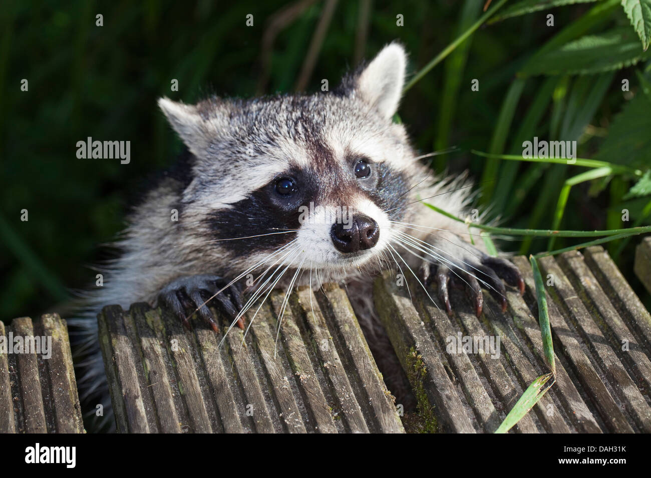 common raccoon (Procyon lotor), six month old male climbing onto a jetty, Germany - Stock Image