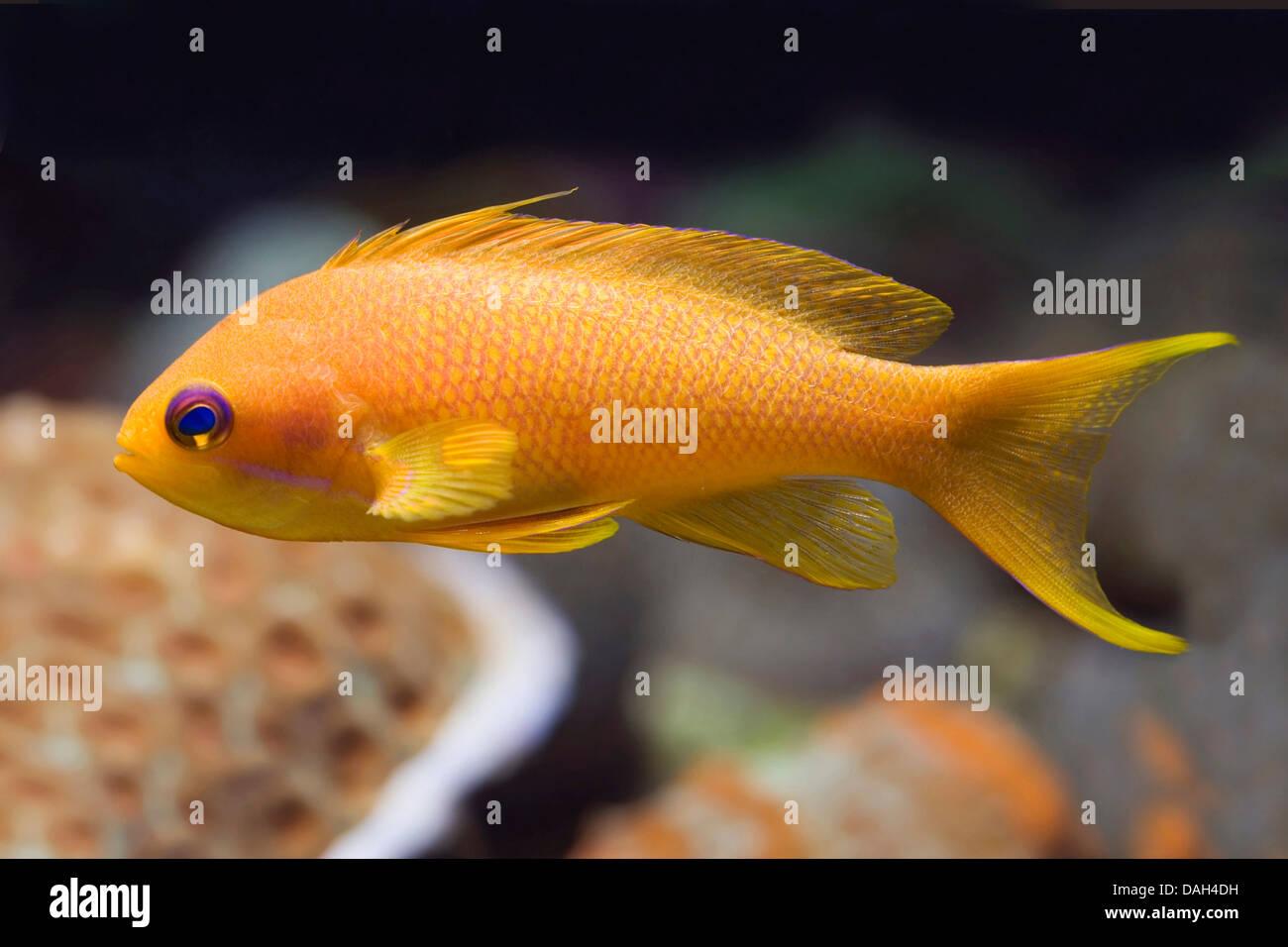 Orange sea perch, Sea goldie, Lyretail coralfish, Lyretail anthias, Harem Flag Basslet (Anthias squamipinnis, Pseudanthias - Stock Image