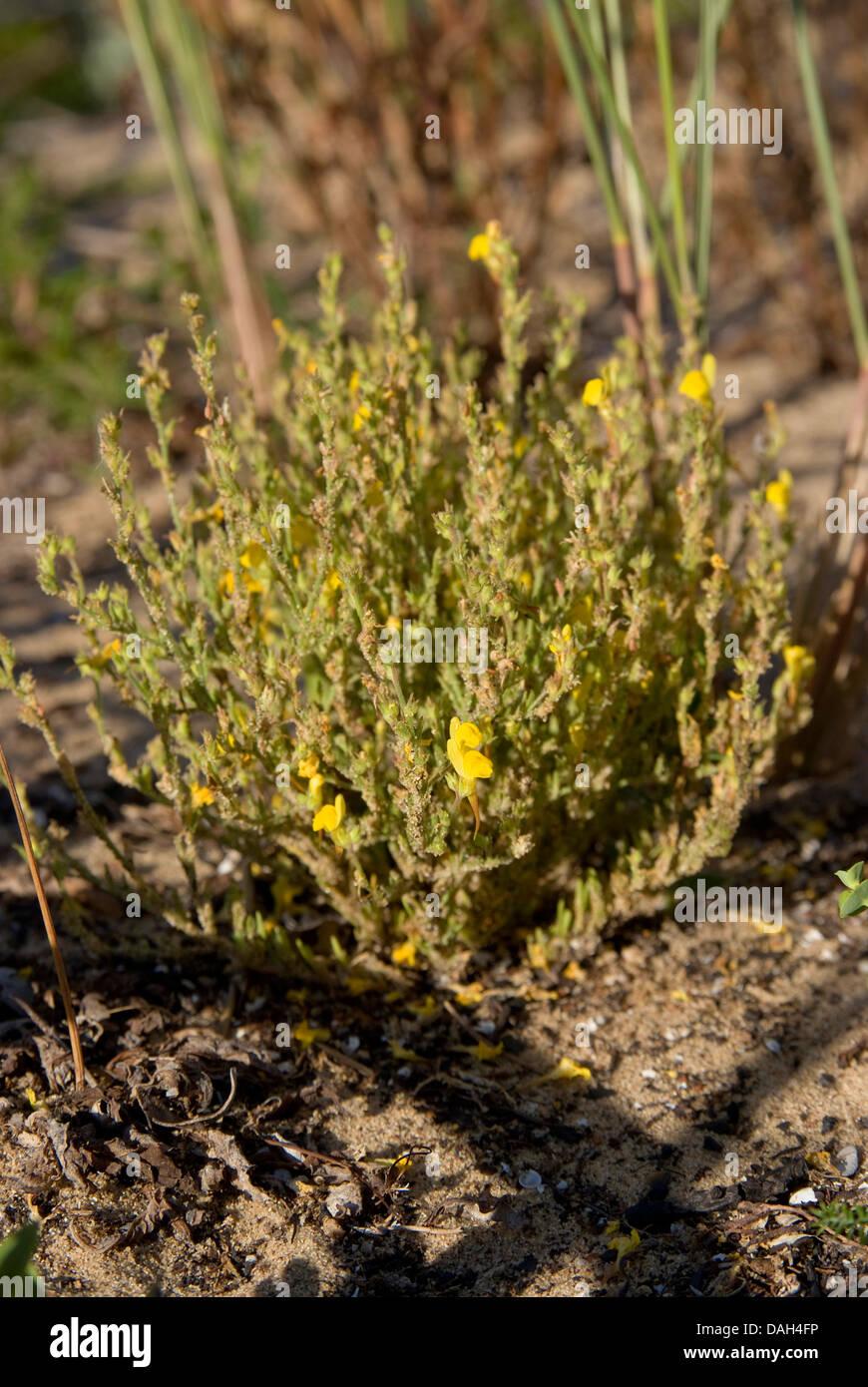Toadflax (Linaria bipunctata subsp. glutinosa), blooming, Portugal, Aljezur - Stock Image