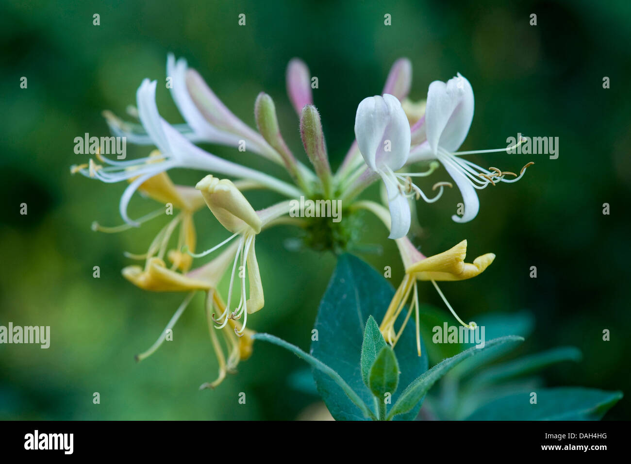 woodbine honeysuckle, English wild honeysuckle (Lonicera periclymenum), inflorescence, Germany Stock Photo
