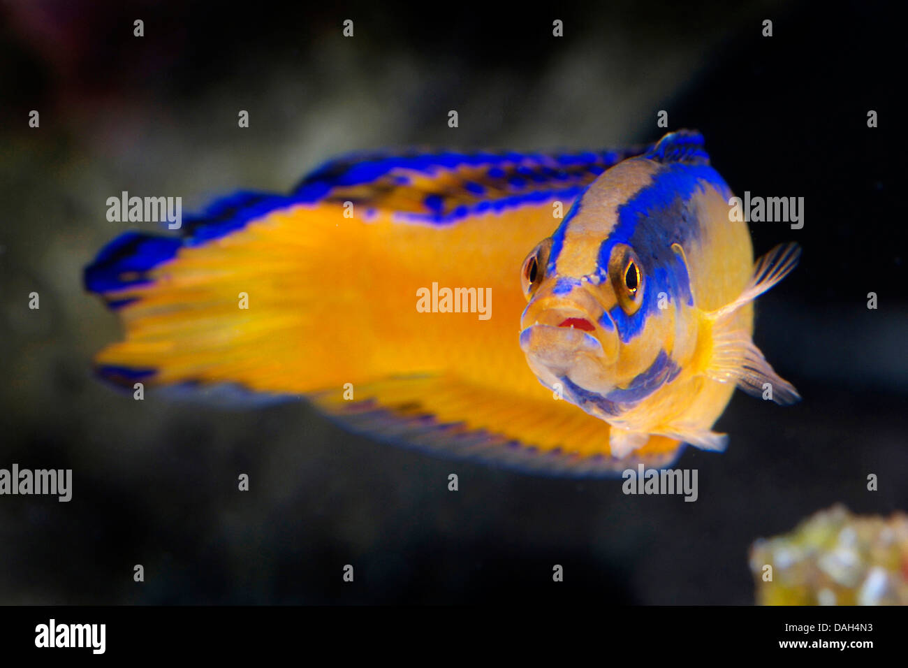 Neon Dottyback   Dottyback Stock Photos Dottyback Stock Images Alamy