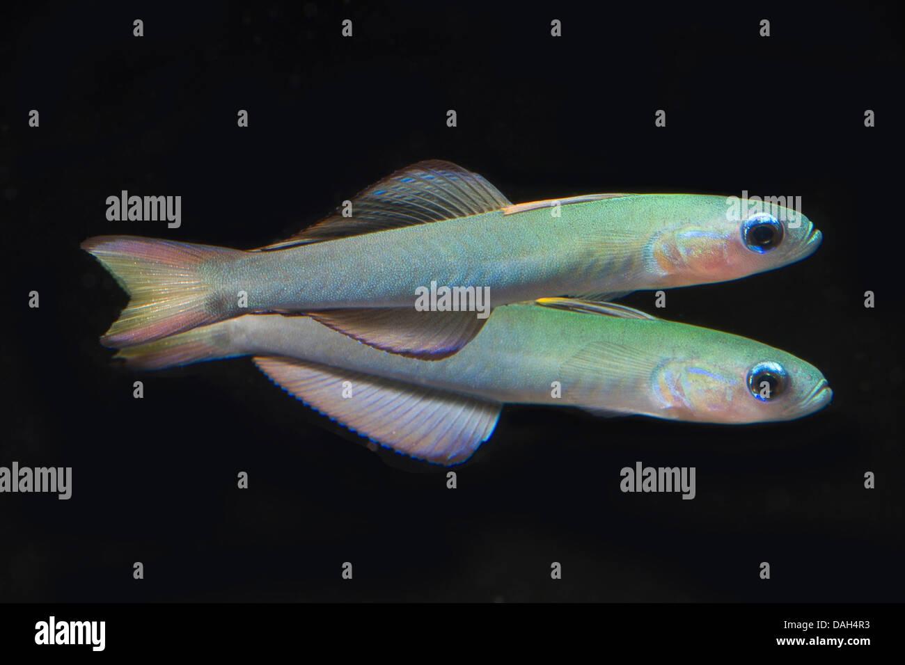 scissor-tailed goby, blackfin gudgeon, blackfin dartfish (Ptereleotris evides), two dartfishes swimming next to - Stock Image