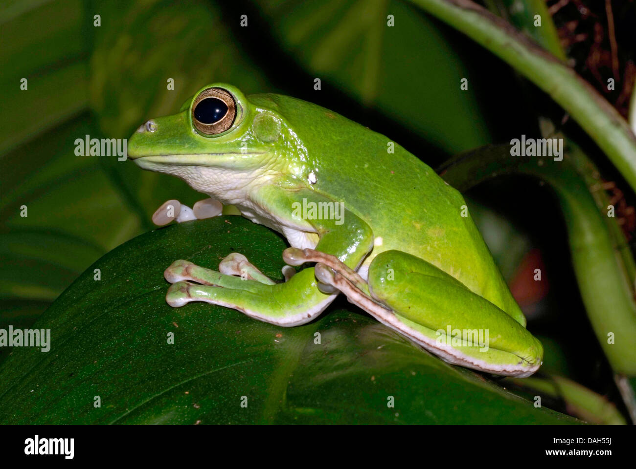 Blanford's whipping frog, Asian gliding tree frog,  Asian gliding treefrog, Chinese flying frog, Chinese gliding Stock Photo