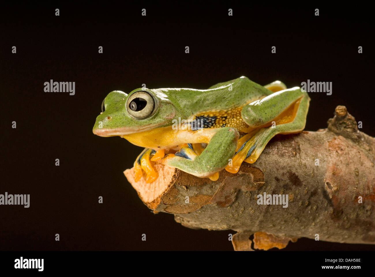 Java Flying Frog (Rhacophorus reinwardtii), on a branch - Stock Image