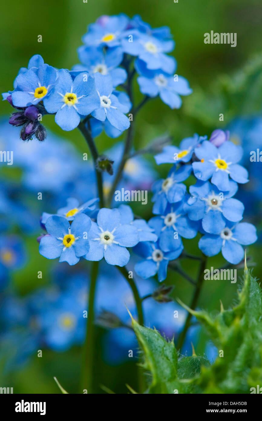 Alpine forget-me-not (Myosotis alpestris), blooming, Switzerland Stock Photo