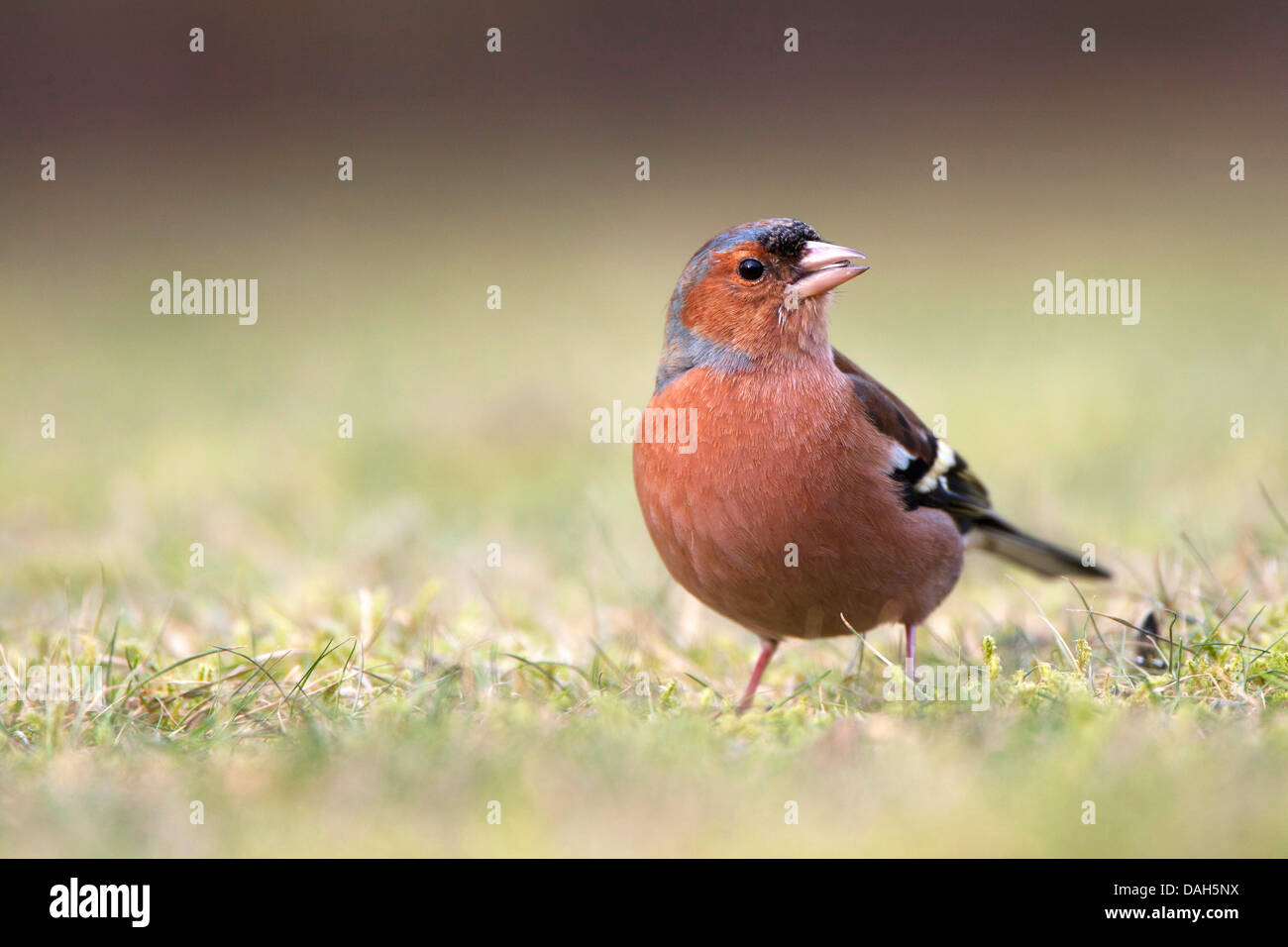 chaffinch (Fringilla coelebs), sitting in a meadow and feeding, Belgium - Stock Image